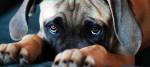 Decifrare lo sguardo colpevole dei cani