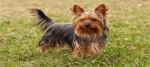 In aumento i furti di cani di razza