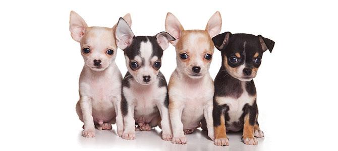 Furti di cani di razza sempre in aumento