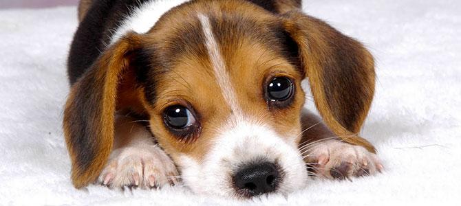 Il cucciolo piange di notte: che cosa fare?