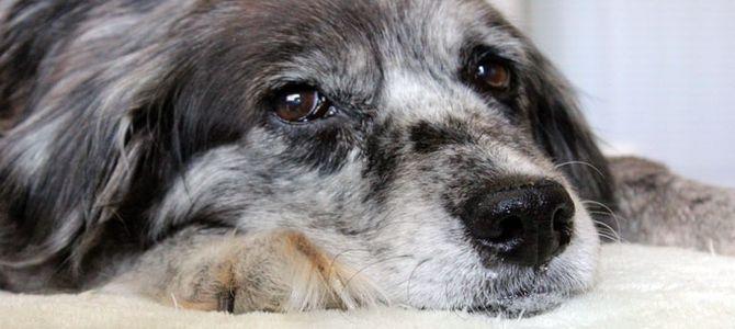 Anche i cani soffrono di demenza senile
