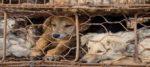 Anche a Yulin vietata la carne di cane