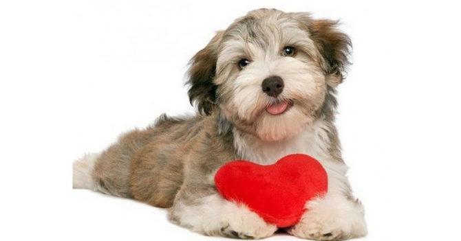 L'insufficienzacardiaca del cane