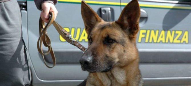 Cani antidroga fiutano 140 gr di Marijuana durante indagine