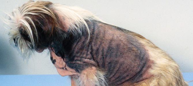 Dermatite atopica del cane: cos'è e come tenerla sotto controllo