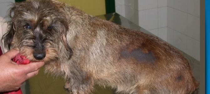Ipotiroidismo del cane: cos'è, quali sono i sintomi e come si cura