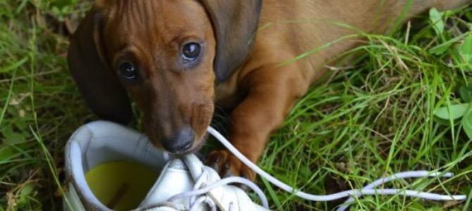 Pica nel cane: cosa fare quando Fido mangia qualsiasi cosa