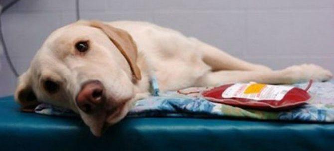 Le trasfusioni e i gruppi sanguigni nel cane