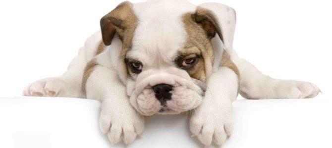 """E' in arrivo il 15° # BulldogDay a Bardonecchia, prepariamoci all'invasione dei """"bulli"""""""