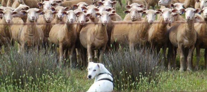 Uno sport da veri pastori, lo Sheepdog Trials