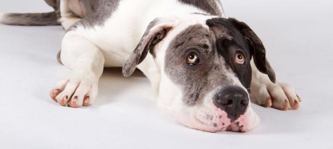 Morbo di Addison del cane: cos'è, cosa fa e come si riconosce