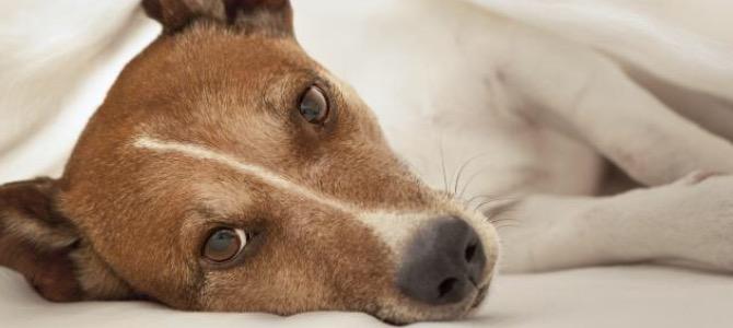 Insufficienza epatica nel cane: cos'è e come si riconosce