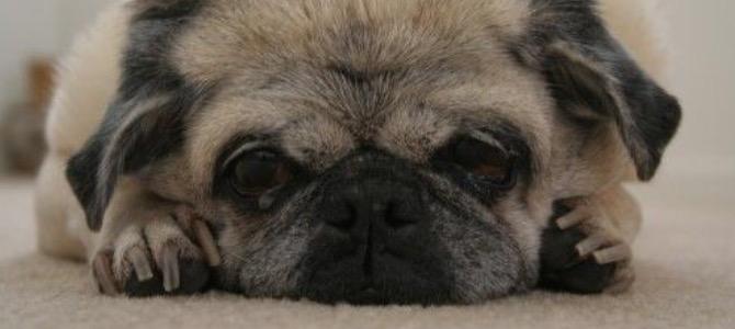 Encefalopatia epatica nel cane e nel gatto: cos'è e come evitarla
