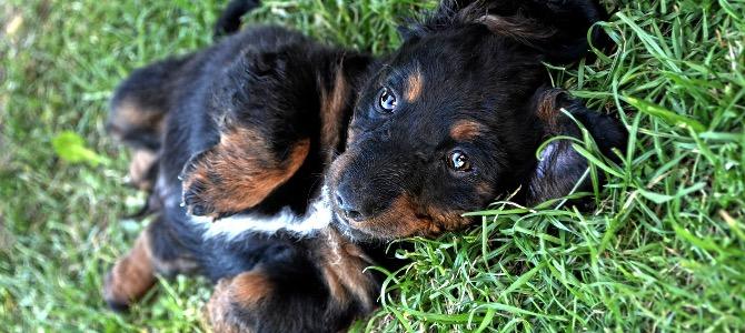 Ascaridi del cane: cosa sono e come eliminarli