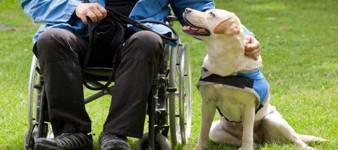 Un Labrador Retriever in aiuto alla disabilità