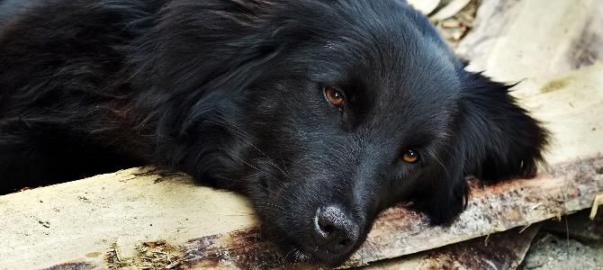 Cirrosi epatica del cane: cos'è e come si cura