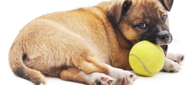 Cosa spinge i cani a rosicchiare