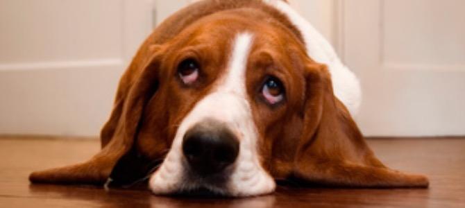 Steatosi epatica nel cane: cos'è e come prevenirla