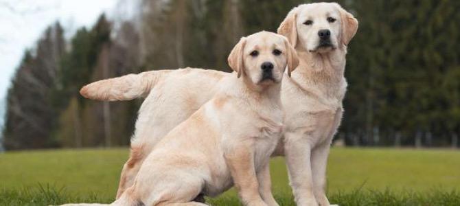 Come riconoscere il primo calore del cane