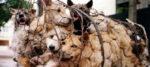 Petizione contro il consumo di carne di cane in Corea del Sud