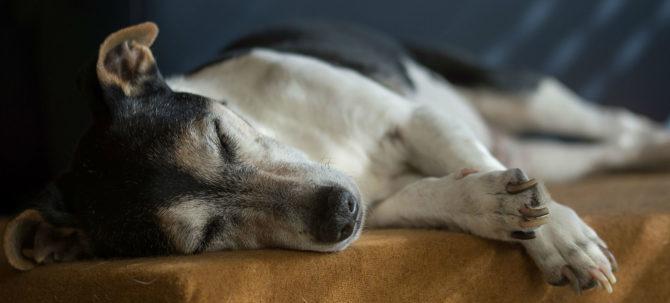 La piometra, un pericolo mortale per il nostro cane