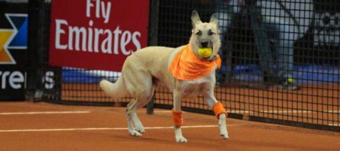 """Tennis: agli Atp di San Paolo, cani """"raccattapalle"""" in cerca di adozione"""