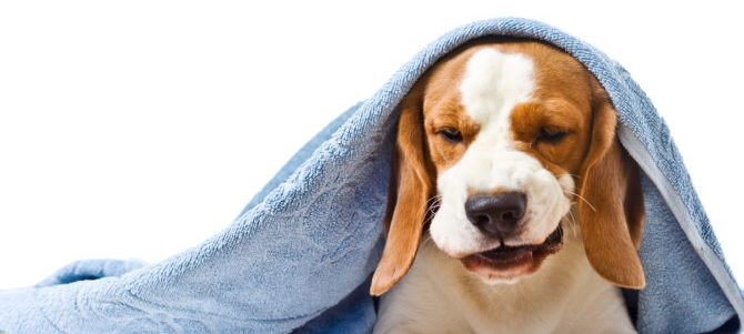 Il cane tossisce? Una possibile causa può essere il collasso tracheale.