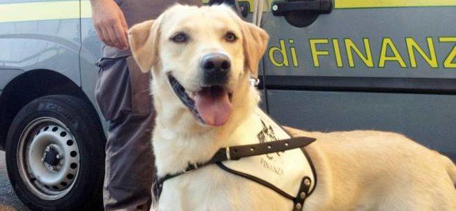A Ventimiglia, sequestrati 700 grammi di cocaina grazie a Cally, labrador antidroga