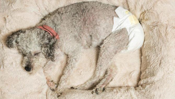L'incontinenza urinaria nel cane
