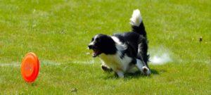 Viaggio nelle attività cinofile:  disc dog.