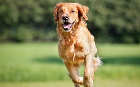 Cani da riporto Golden Retriever